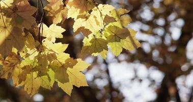 lindo modelo de folhas amarelas com árvores escuras desfocadas no fundo em 4k