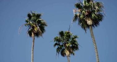 panorâmica lenta da folhagem de três palmeiras altas em 4k