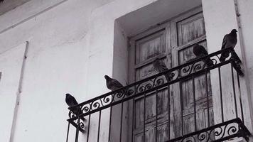 cinco pombos em uma varanda video
