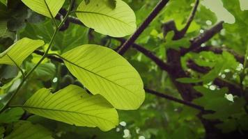 grandes folhas verdes claras no jardim