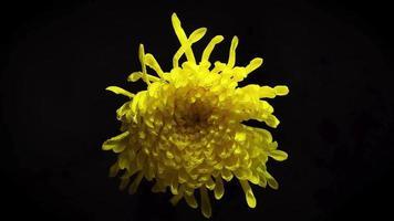 grande fiore giallo nell'oscurità