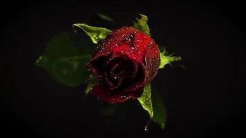 Dark Red Rose In Darkness
