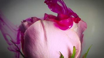 Close up di rosa rosa e inchiostro magenta