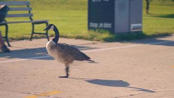 Goose Crossing The Runners Lane In Queens Landing Chicago