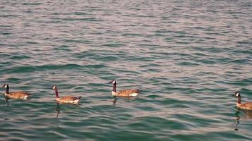 Geese Swimming In Monroe Harbor In Chicago