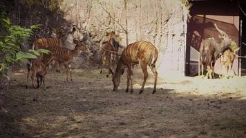 Jóvenes ciervos nyala en el hábitat del zoológico