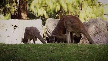 canguros en el hábitat del zoológico