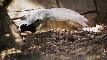 faisão prateado caminhando em habitat de zoológico video