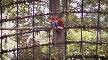 Guacamayos en cámara lenta de hábitat de zoológico