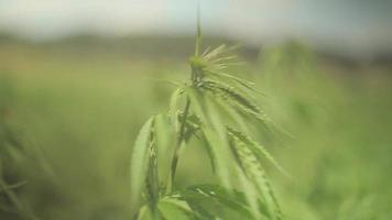un primer plano de una planta de cáñamo