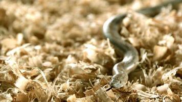 serpente in ultra slow motion (1.500 fps) - snakes phantom 001