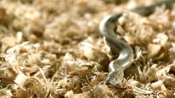 serpente in ultra slow motion (1.500 fps) - snakes phantom 002