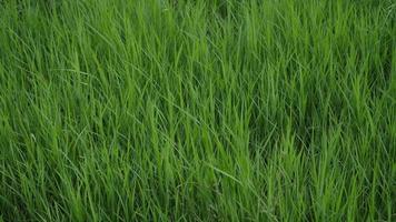 grama verde com rajadas de vento