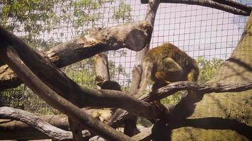 pequeño mono en el hábitat del zoológico video