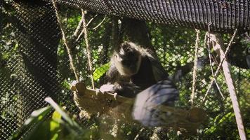 Mono araña en el hábitat del zoológico