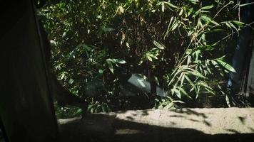 Mono araña caminando en el hábitat del zoológico