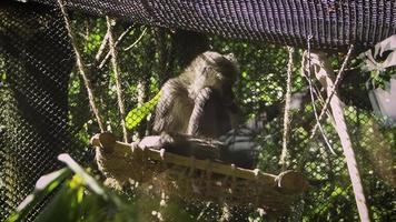 Mono araña en columpio en el hábitat del zoológico