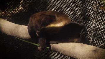 Capuchino copetudo descansando en el hábitat del zoológico