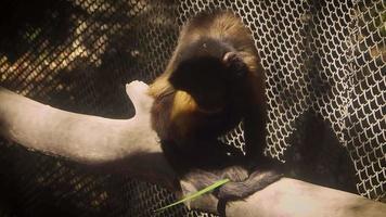 Monos capuchinos copetudos en el hábitat del zoológico