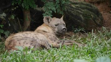 Hyena living in the wild