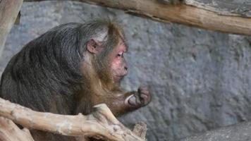 Mono rhesus salvaje en el bosque