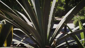 planta de agave no jardim botânico video