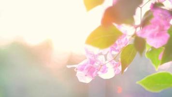 flores ao nascer do sol fechem na flor do cosmos ao nascer do sol. video
