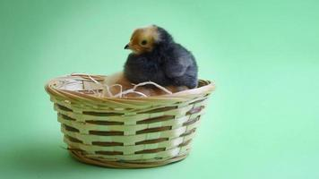 brown easter chicken in easter nest with green background