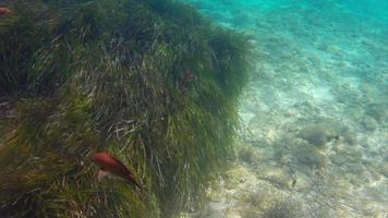 peixes subaquáticos com gras em 4k