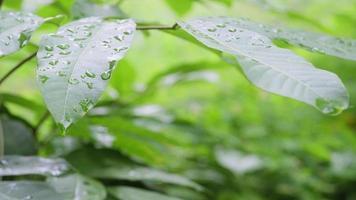 Regentropfen fallen auf Baumblätter.