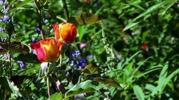 due rose giallo arancio ondeggiano in un campo di verde