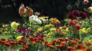 flores de colores florecen en un jardín de verano video