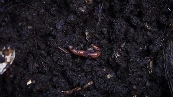 Close Up Of Earthworm Tail video