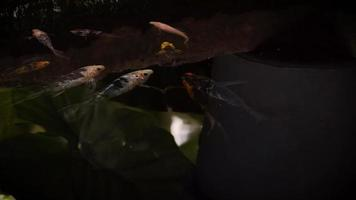 Koi Fishes In Dark Pond