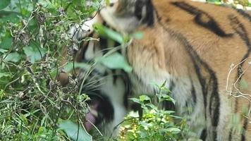 tigre comendo vegetação