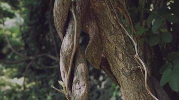 lianas na selva são trançadas em uma árvore