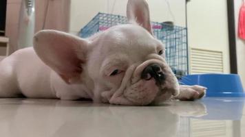 buldogue francês sonolento