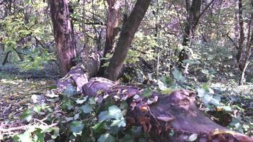 Fallen Tree among Leaves