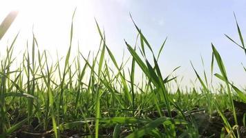 la luz del sol en un campo de germen de trigo