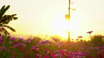 una fila de flores del cosmos