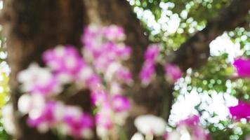 disparo de enfoque desplazado de la orquídea dendrobium orquídea. video