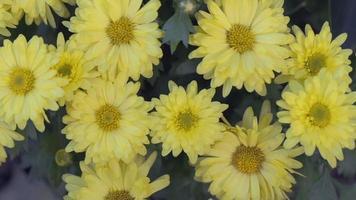 flores amarelas em um jardim em um dia de primavera video