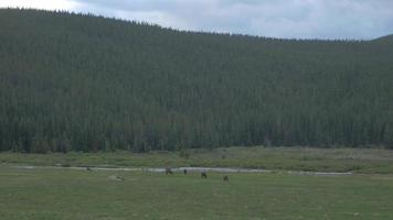 A Herd of Wild Horses Graze at the Foot of the Rocky Mountains 4K