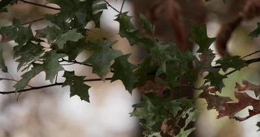 três ramos com folhas escuras movidos pelo vento com fundo de floresta desfocado em 4k