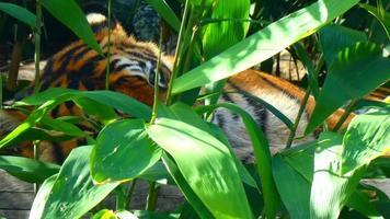 tigre acostado 4k