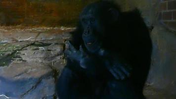 close do gorila no zoológico 4k