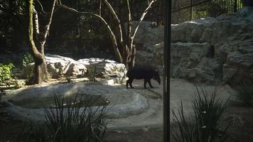 Tapir In Zoo Habitat