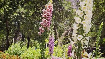 flores rosa roxas e brancas dedaleira no jardim botânico video