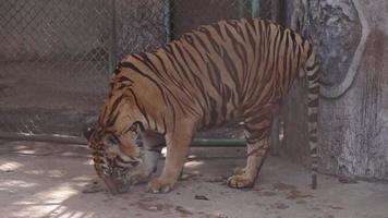 b-roll de tigre no zoológico. video