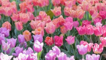 flor da tulipa em campo no inverno ou na primavera.